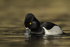 Time to Rename the Ring-Necked Duck ? (Chantal Jacques Photography) Tags: ringneckedduck ringbilledduck wildandfree bokeh depthoffield vancouverisland