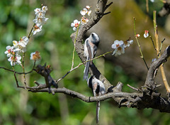 Long-tailed Tits And Plum Blossoms (aeschylus18917) Tags: danielruyle aeschylus18917 danruyle druyle ダニエルルール japan 日本 tokyo 東京 bird 鳥 トリ tit passeriformes aegithalidae aegithaloscaudatus longtailedtit エナガ aegithaloscaudatuscaudatus plumblossoms spring pxt
