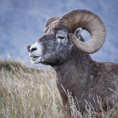 Rocky Mountain Bighorn Sheep (Turk Images) Tags: jaspernationalpark mountainparks northamericanungulates oviscanadensis rockymountainbighornsheep alberta bovidae mammals rockymountains fall mountains sheep woodlands