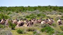 Line up of Vultures with two Jackals feast on a recent kill. (One more shot Rog) Tags: namibia kill carcass eats scaveners scavenger jackal blackbackedjackal vulture vultures birds safari africa etosha nature wildlife