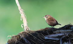 Early Morning Wren (Steve C Waddingham) Tags: stevenwaddinghamphotography bird song small tiny nature wild wildlife canon