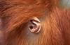 ZOO0110-2 (Akira Uchiyama) Tags: 動物たちのいろいろ 耳 耳オランウータン