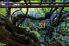 DSC_1598 (sayo-tsu) Tags: 藤 wisteria 牛島のフジ 春日部市 埼玉県 kasukabe saitama 特別天然記念物