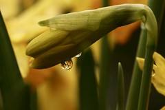 end of a long week.. (AngharadW) Tags: green yellow earlysignsofspring earlyspringsigns daffs daffodils dof water droplet angharadw cymru wales