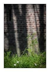 Celle qui se prenait pour une grande (SiouXie's) Tags: color couleur fujixe2 fuji fujifilm 55200 siouxies rouen normandie normandy ville city robec nature ombre shadow