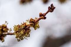 breaking free (Aaron_Smith_Wolfe_Photography) Tags: tree spore spring branch brown carson city carsoncity nevada sierra mountains