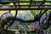 DSC_1594 (sayo-tsu) Tags: 藤 wisteria 牛島のフジ 春日部市 埼玉県 kasukabe saitama 特別天然記念物