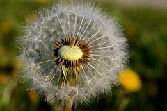 Pusteblume (rainbowcave) Tags: dandelion blowball clock pusteblume löwenzahn