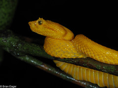 yellow eyelash viper (Bothriechis schlegelii) closeup (brian eagar - very busy - not much time to comment) Tags: 2017 spring april carribean nature wild outdoor outside wildlife animal viper eyelashviper yellow yelloweyelashviper bothriechisschlegelii bothriechis snake reptile venomous jungle