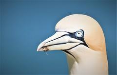 Gannet Portrait (petershaw4) Tags: bird nesting grass tops cliffs bempton east yorkshire
