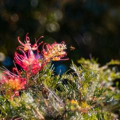 Nectar for Brekky (wallygawr) Tags: grevillea meyeroptikgorlitztrioplan128100 bokeh flowers