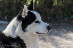 Bubi (Floramon) Tags: malamute hund dog tier animal schwarz weis white black alaska