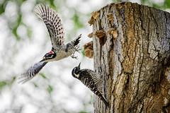 Changing of the Guard (halladaybill) Tags: lagunaniguelregionalpark lagunaniguel california unitedstates us woodpeckers nuttallswoodpecker orangecounty californiabirding