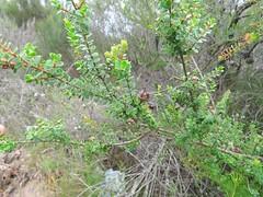 Leptospermum rotundifolium 2 (barryaceae) Tags: booderee avenue hyams beach jervis bay national park nsw australia aushp heath plant ausheathplant