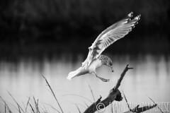 Touch Down (rpm pictures) Tags: 2016 behavior bird blackandwhitebirding flight gull heislerville herringgull hiking landing marsh nature nj november outdoors rpm rpmphoto rpmphotography rpmpictures ryanpaulmarchese ryanpaulmarchesephotography wildlife winter