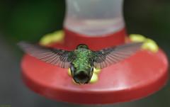 Suspension. (Carlos Arriero) Tags: monteverde costarica colibrí hummingbird suspensión suspension bird ave pájaro animal nature naturaleza ngc natgeo carlosarriero nikon selvatura bokeh dof d800e 105mm green verde