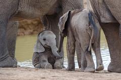 Le sourire de l'éléphanteau.jpg (BoCat31) Tags: faunesauvage afrique sourire expression rencontre jeu éléphanteau