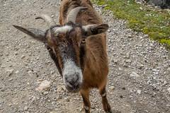 Ruta del Cares (Juan R. Ruiz) Tags: picosdeeuropa mountains montañas routes rutas rutadelcares cares riocares cantabria nature naturaleza spain españa europa europe canon canoneos60d goat cabra animal