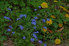 1391-21L (Lozarithm) Tags: oldforge flora flowers forgetmenots dandelions pentax prime k5 55f14 smcpda55mmf14sdm blip