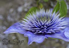 Clematis. (Sue Sayer) Tags: clematis garden flower climber mauve