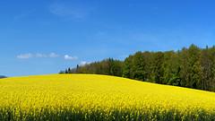 A springtime rapeseed field (Karl Le Gros) Tags: lachaux switzerland colza colzafield 2017 cantondevaud springtime xaviervonerlach 澤維爾·馮·埃拉赫 explore rapeseed rapeseedfield panorama sonyilce7rm2 sonyzeissfe90mmf28macrogoss