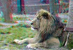 Lion Blijdorp Zoo Rotterdam 2017 3D (wim hoppenbrouwers) Tags: lion blijdorp zoo rotterdam 2017 3d anaglyph stereo redcyan leuw