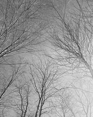 IMG_20170328_115409_503-1 (opphotos.net) Tags: trees winterbeauty winter quebec canada blackandwhite sky contrats