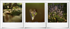 Hyacinth ... (@necDOT) Tags: sx70 jacinthe triptyque montage polaroid impossibleproject