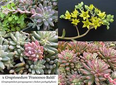 x Graptosedum 'Francesco Baldi' (collage)