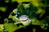 Ice in Spring (1IMG_4925) (Eva Hartley) Tags: dewdrops leaf morning ladysmantle alchemillamollis frost spring ice dew