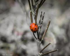 Six Black Dots (that_damn_duck) Tags: depthoffield animal nature ladybug