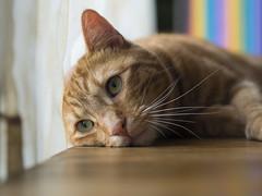 Billy (lauriepetsitterparis) Tags: chat cute mignon miaou petsitter catsitter cat minou