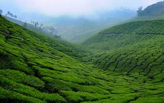 Tea Carpet (realstephenwhite) Tags: landscape travel india fields munnar hills xe2 tea fujifilm