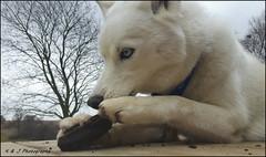 """ Mmm Wood ! "" (KLF & JRN) Tags: kjphotography pointynoseddogs siberianhusky husky brantford wood blueeyeddog blueeyes"