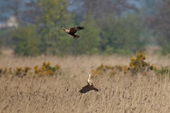 Marsh harrier and bittern (Ham Wall) #4 of 4 (Steve Balcombe) Tags: bird bittern botaurus stellaris marsh harrier circus aeruginosus fight inflight phragmites reed beds avalonmarshes somerset levels uk