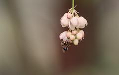 Biene_haengend (lotharmeyer) Tags: biene blüte natur makro blume spring nature bees