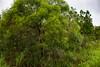 Vegetation during the Wet Season (betadecay2000) Tags: vegetation tropical tropics wickhampointroad wickham point road street strase stasse darwin feburary februar green grün gruen australia australien aussie oz australie austral ozeanien wetseason regenzeit channelisland channel island channelislandroad busch bush