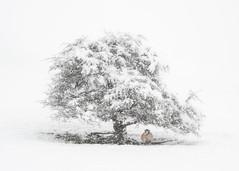 Pale Shelter (Mark Littlejohn) Tags: nikon50mmf12ais matterdale snow sheep swaledale