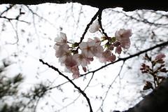 IMG_3269 (digitalbear) Tags: sophia university jochidaigaku yotsuya tokyo japan sakura cherry blossom kiminonawa your name yourname suga shrine jinja movie animation
