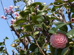 オトメツバキとウメ (nofrills) Tags: flola floral plant オトメツバキ 乙女椿 pink blossom blossoms flower ウメ 梅 plumblossom plumblossoms plum