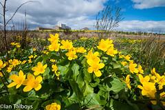 Marsh Marigold 1 (Ian R T) Tags: marshmarigold kingcup easttullosburn stfittickspark torry aberdeen scotland