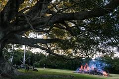 easter (dustaway) Tags: fire burnoff moraceae ficusobliqua smallleavedfig tree people garden spectators