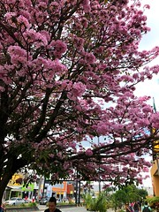 Colombia is magical realism. (Andres.Saldarriaga) Tags: tree armenia quindio nature pink rosé guayacan colombie colombia