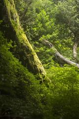 Bosque Encantado (miguelmondaca) Tags: encantado tolkien patagonia aysén chile lothlórien