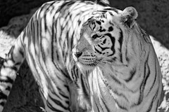 Loro Parque (Tuomo Lindfors) Tags: canaryislands canarias kanariansaaret kanaria islascanarias tenerife teneriffa dxo filmpack puertodelacruz loroparque eläintarha zoo tiikeri tiger whitetiger rewantiikeri valkoinentiikeri blackwhite espanja spain