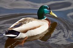 High Angle (tim ellis) Tags: bird duck mallard suttonpark wyndleygate wyndleypool msh0417 msh04175 suttoncoldfield uk