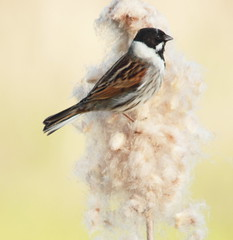 Reed Bunting (Cal Killikelly) Tags: pretty painterly male reed bunting nest building small feathered artistic capture light lemon nature spring