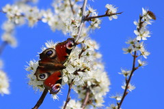 Lovely Spring (ivlys) Tags: odenwald rohrbach weisdorn whitethorn crataegus busch bush pflanze plant tagpfauenauge peacockbutterfly schmetterling butterfly insekt insect nature ivlys