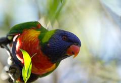 Rainbow lorikeet enjoys the afternoon sun (Jutta Sund) Tags: lorikeet parrot dof rainbow colourful closeup bokeh animal sunny beak