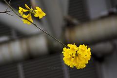 Brazilian Ipé-amarelo 5 (C & R Driver-Burgess) Tags: yellow blossom flower tree silhouette spar